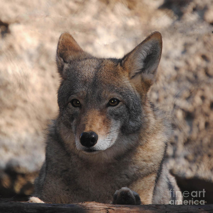 Coyote Photograph - Coyote Beautiful by DiDi Higginbotham