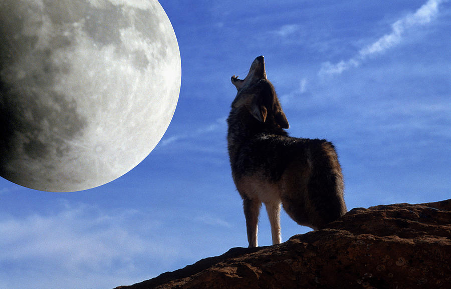 Coyote Howls At Moon Photograph by Larry Allan  Coyote Howls At...