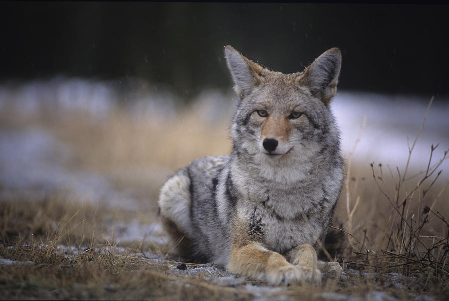 Light Photograph - Coyote Resting In Winter Grass, Snowing by Leanna Rathkelly