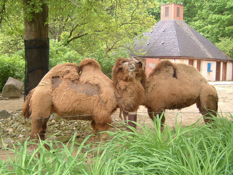 Camels Photograph - Cozy Camels - Cleveland Metro Zoo 1 by S Taylor