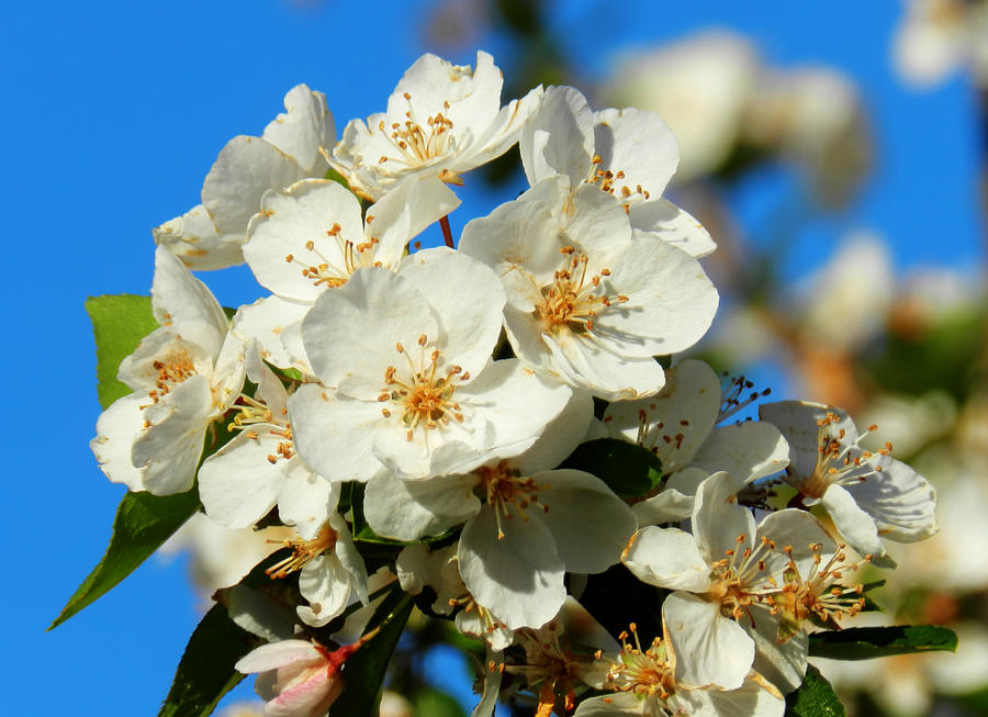 Floral Photograph - Crab Apple Blossom Macro 001 by Lance Vaughn