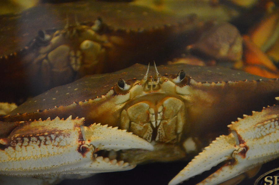 Crab Photograph - Crab Claws by Malcolm  Chalmers