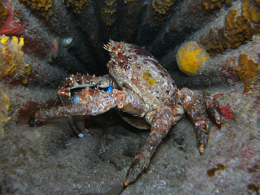 Underwater Photograph - Crab In A Plane Wreck by Ted Papoulas
