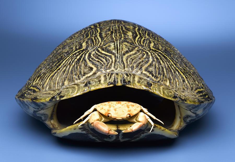 Horizontal Photograph - Crab Inside Of Empty Turtle Shell by Jeffrey Hamilton