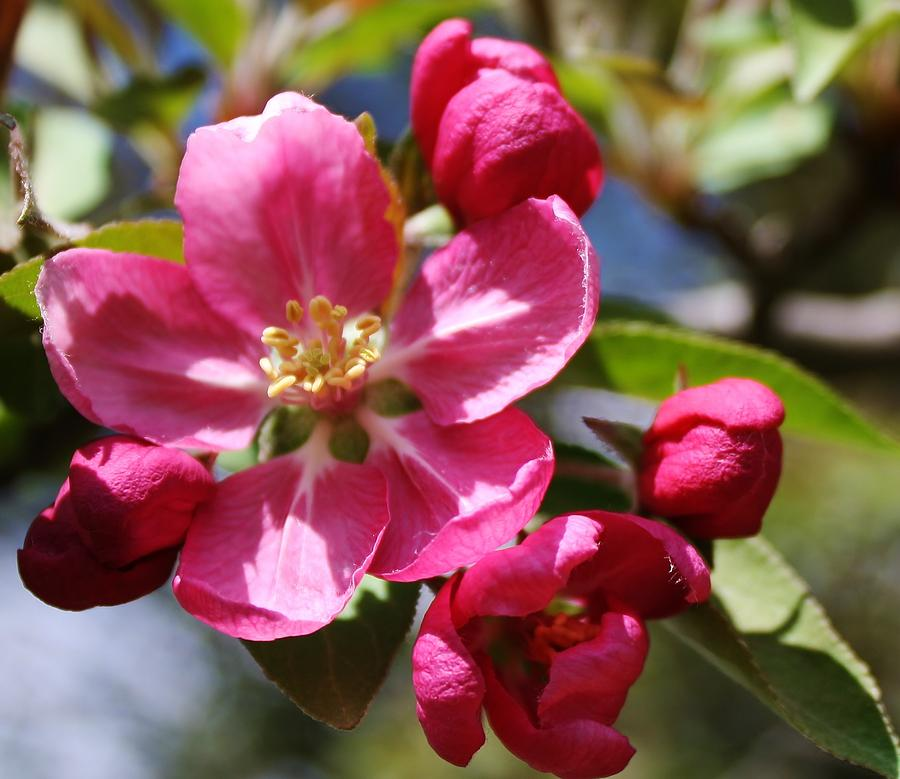 Crabapple Blossom Photograph By Bruce Bley