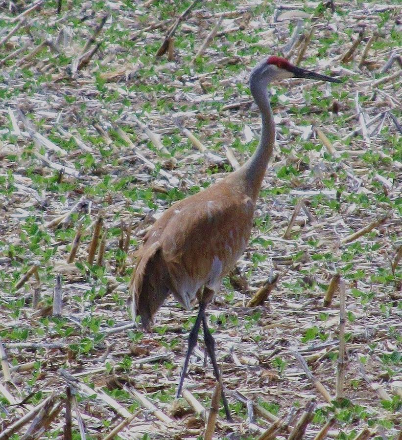 Crane In Corn Field Photograph by Todd Sherlock