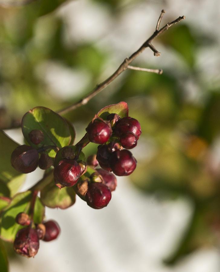 Crape Photograph - Crape Myrtle Fruit by Douglas Barnett