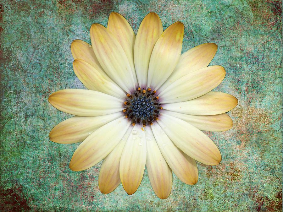 Daisy Photograph - Cream Coloured Daisy by Chris Thaxter