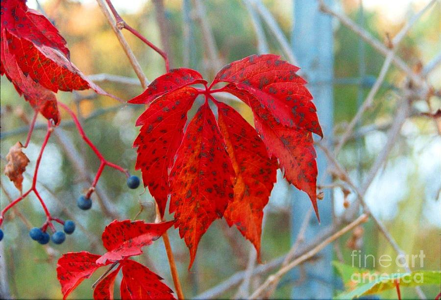Leaves Photograph - Crimson Leaves by Crissy Sherman