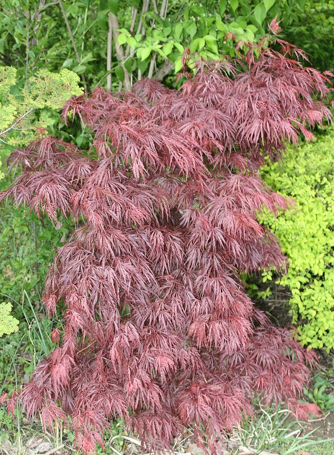 Maple Photograph - Crimson Waterfall A Japanese Maple by James Collier