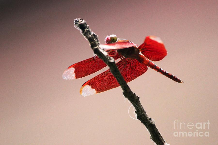 Dragonfly Photograph - Crimson Wings At Dusk by Nola Lee Kelsey