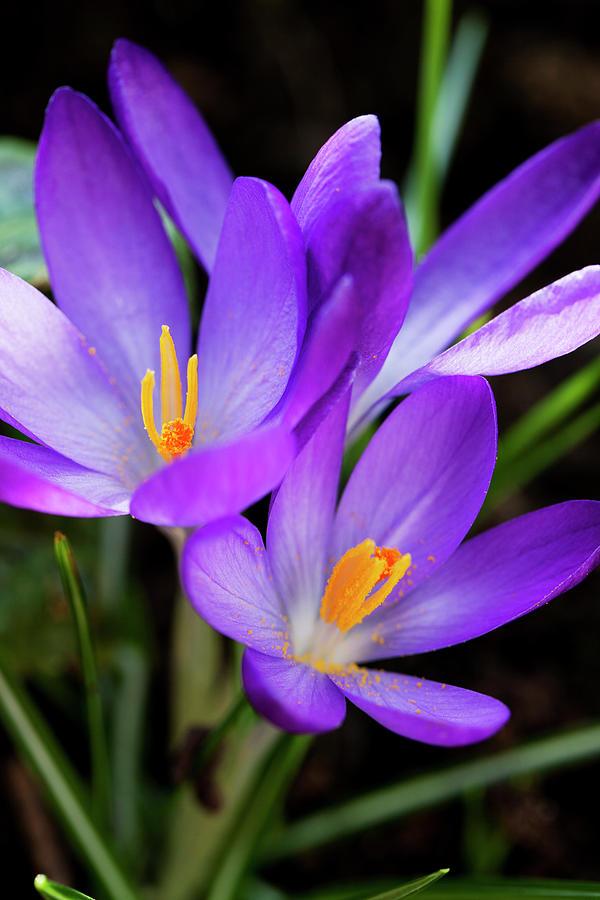 Vertical Photograph - Crocus Flower by Andrew Dernie
