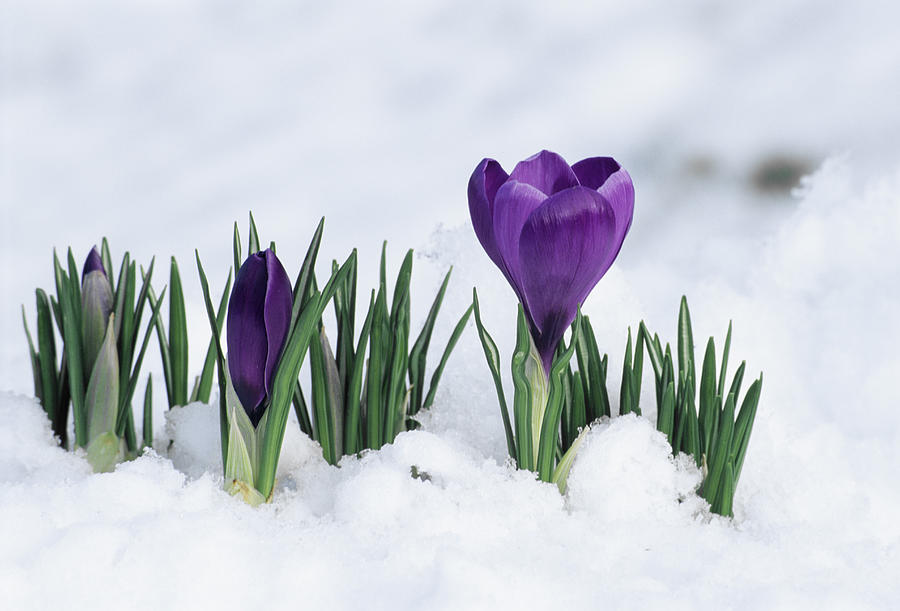 Crocus Flower In The Snow Photograph By David Aubrey