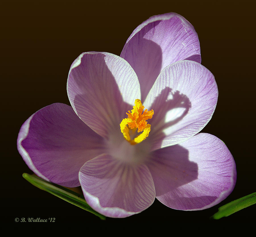 2d Photograph - Crocus In Full Bloom by Brian Wallace