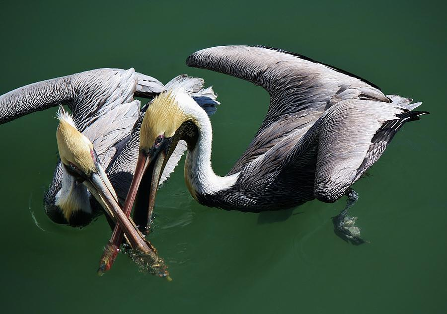 Pelican Photograph - Crossed Up by Paulette Thomas