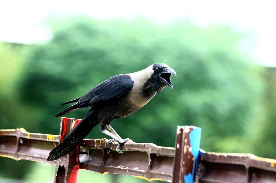 Crow Photograph - Crow by Alvin Jonathan
