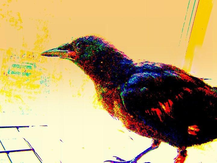 Crow Mixed Media - Crow Walk by YoMamaBird Rhonda