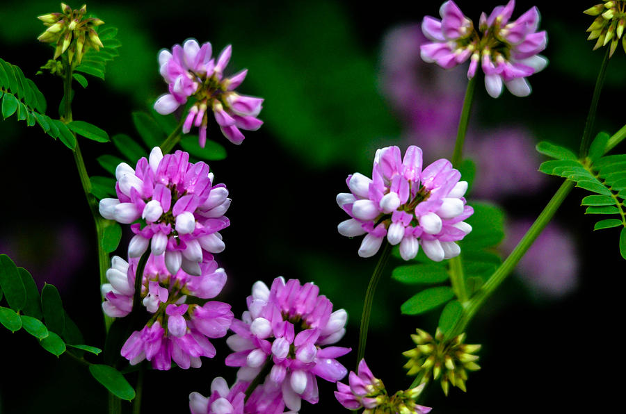 Crown Vetch Photograph by Brian Stevens