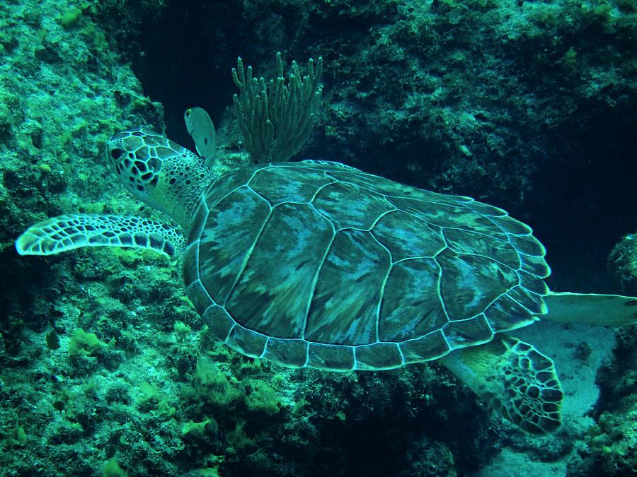 Green Sea Turtle Photograph - Cruisin With Crush II by Kimberly Perry