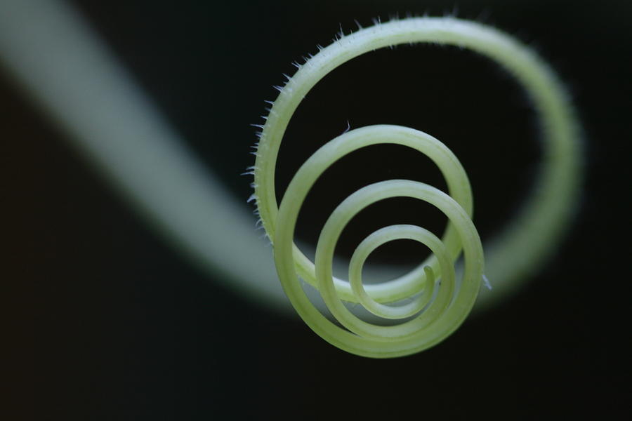 Cucumber Photograph - Cucumber Tendril Spiral by Bonnie Boden