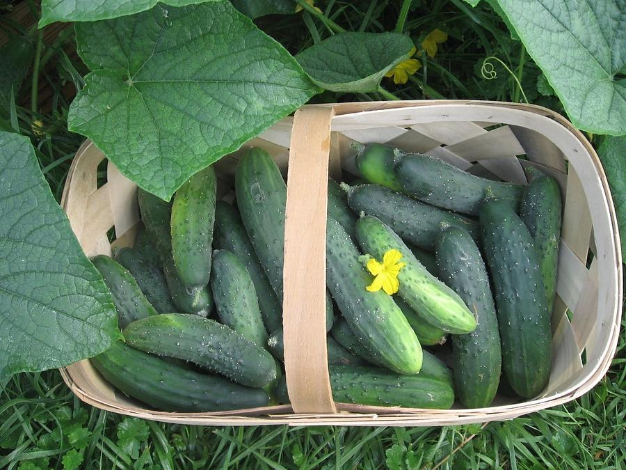 Cucumbers In Garden Basket Photograph by Deb Martin Webster