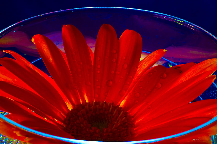 Gerber Daisy Photograph - Cup O Gerber by Mitch Shindelbower