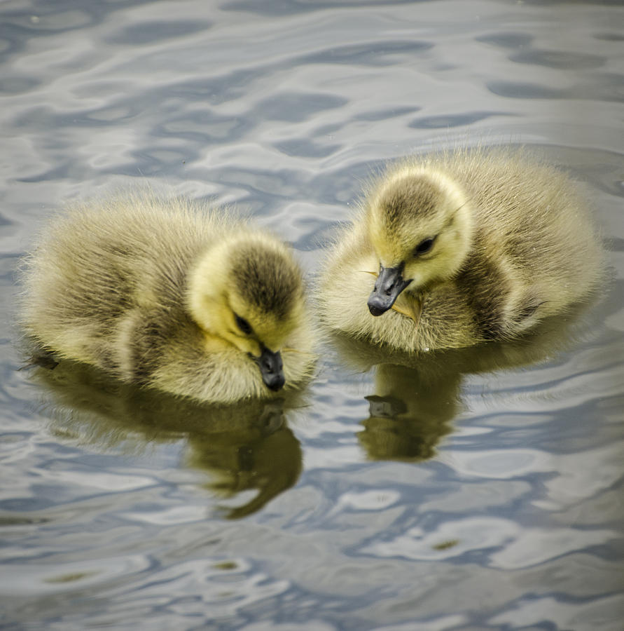Duckling Photograph - Curiosity by Heather Applegate