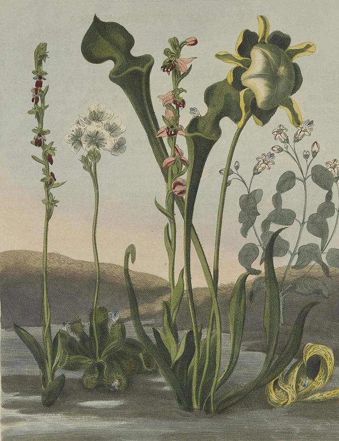 Thornton Drawing - Curious American Bog Plants by Robert John Thornton