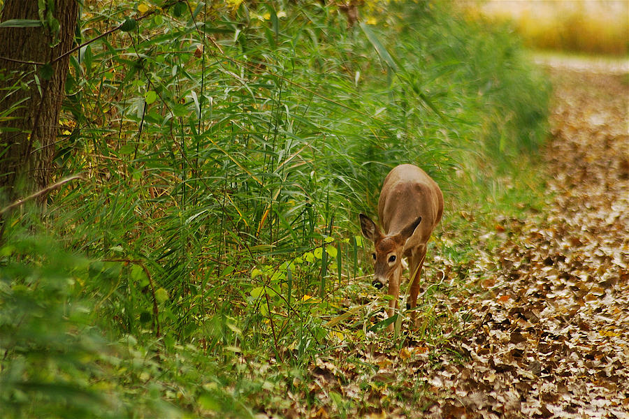 Deer Photograph - Curious Doe 9838 by Michael Peychich