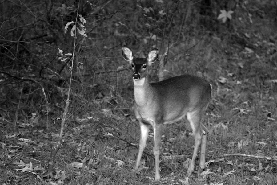 Deer Photograph - Curious Fawn by Jake Busby