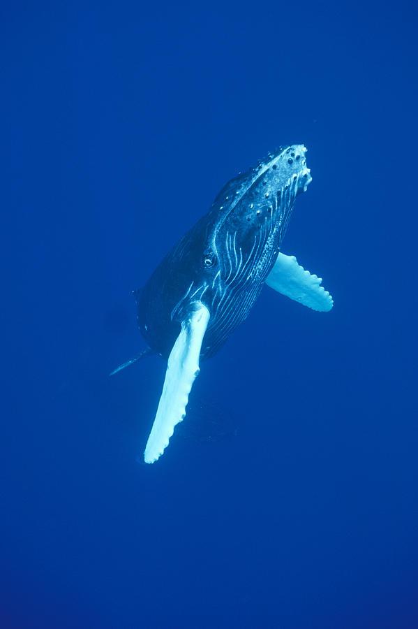 Curious Humpback Whale Calf Off Maui Photograph by Flip Nicklin