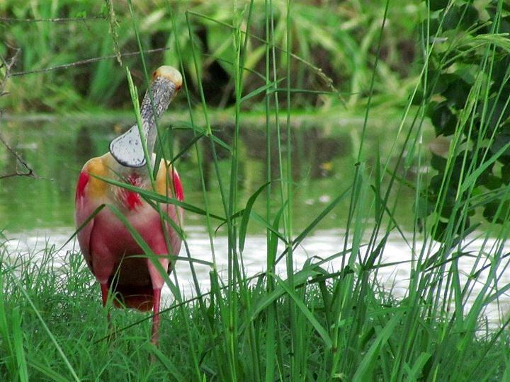 Curious Roseate Spoonbill Photograph by Betty Berard