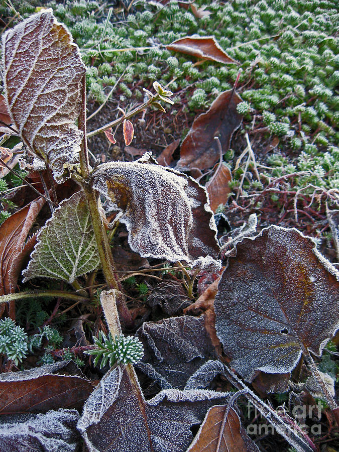 Frost Photograph - Curled And Frosted  by Ellen Miffitt