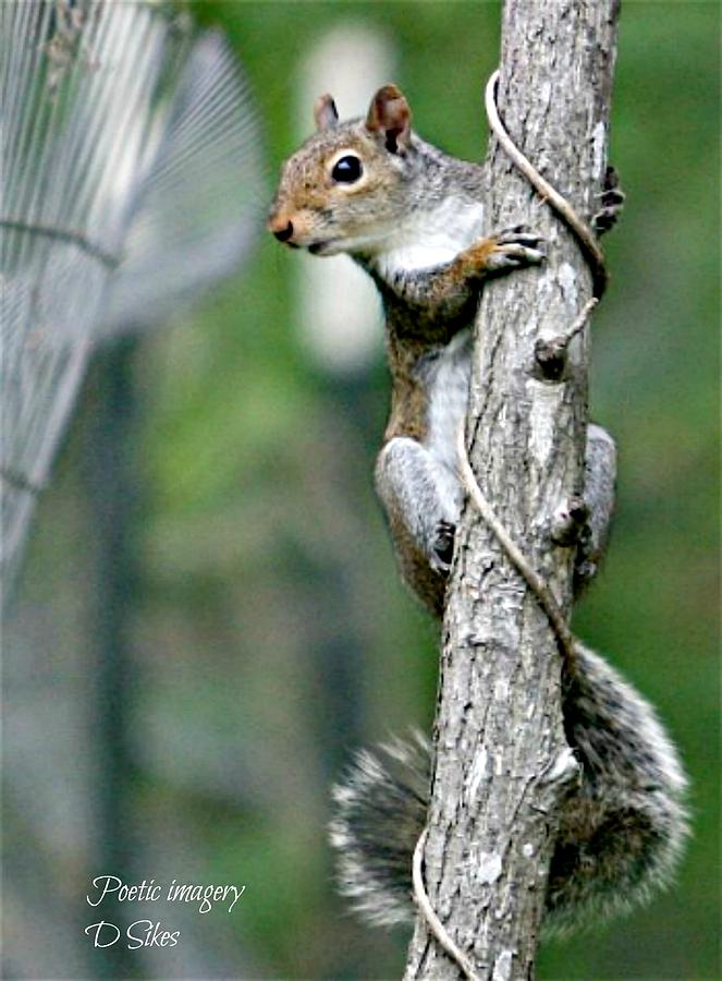 Squirrel Photograph - Curves by Debbie Sikes