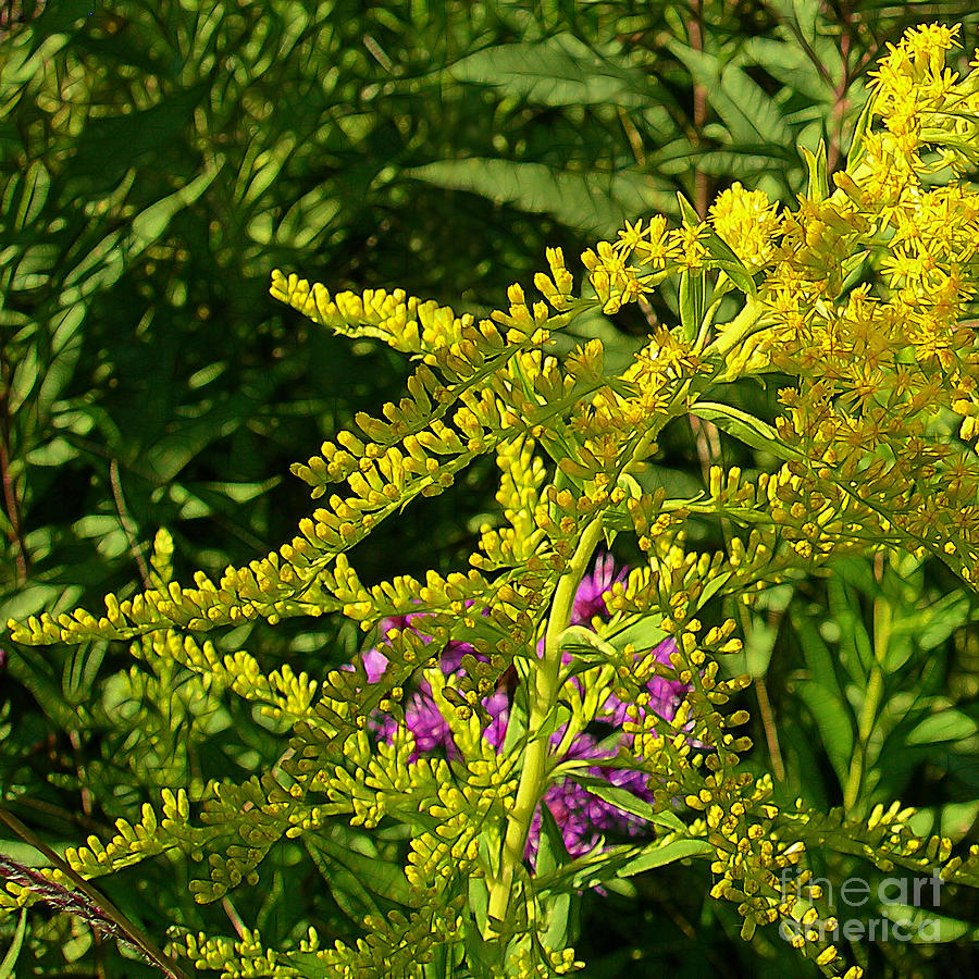 Gold Photograph - Curves Of Goldenrod by Judi Bagwell