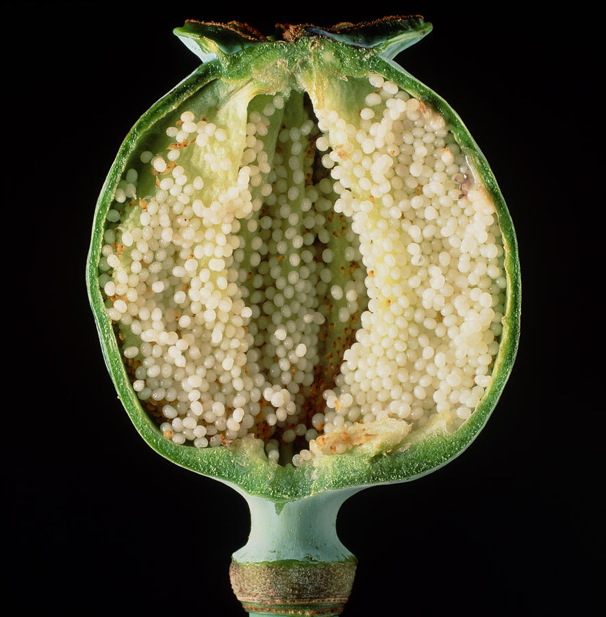 Cut Seed Capsule Of Opium Poppy Photograph By Dr Jeremy