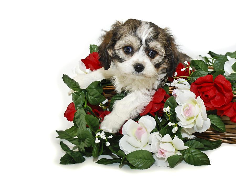 Cute Cavachon Puppy Photograph by StockImage