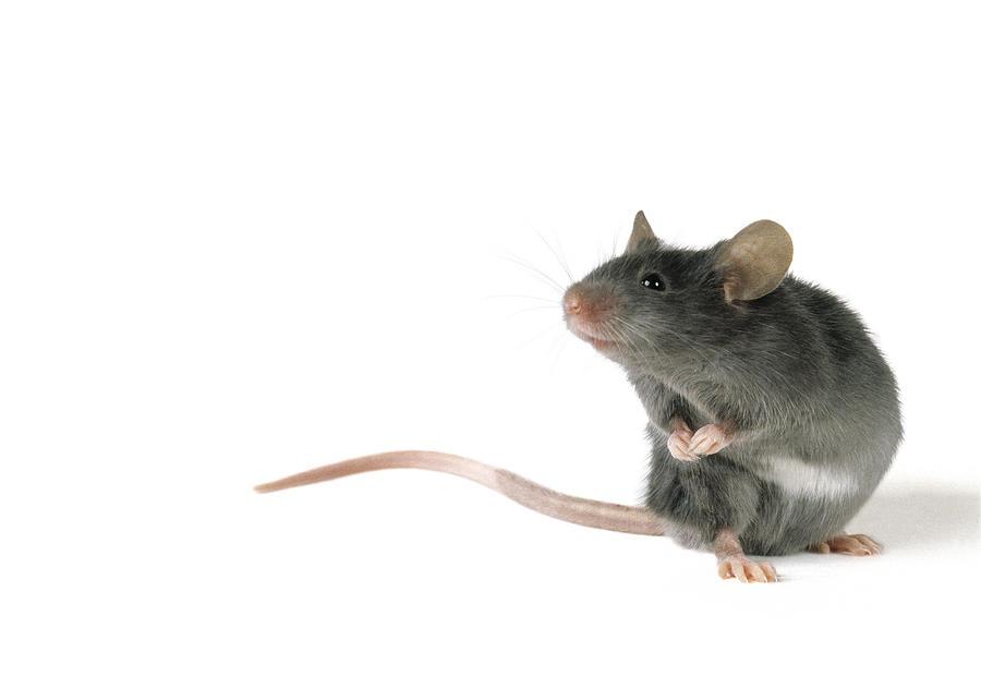 Cute Mouse Photograph By Darwin Wiggett