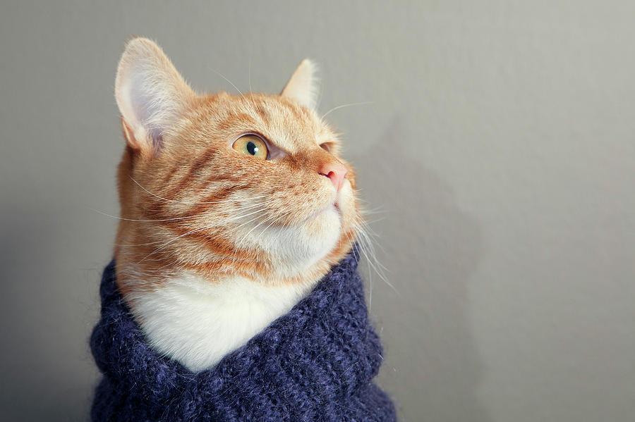 Horizontal Photograph - Cute Red Cat With Purple Scarf by Paula Daniëlse