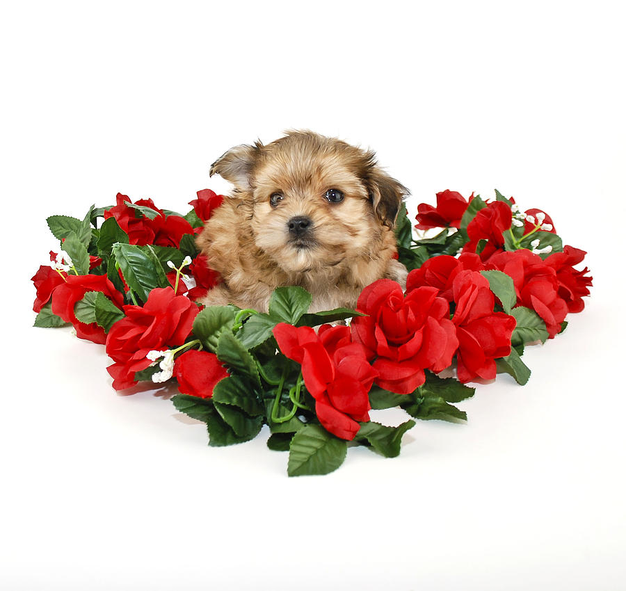 Cute Yorkie Poo Puppy Photograph by StockImage
