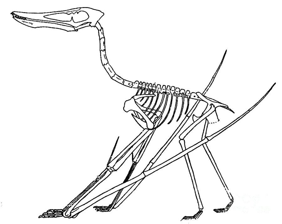 Vertebrate Photograph - Cycnorhamphus Suevicus by Science Source