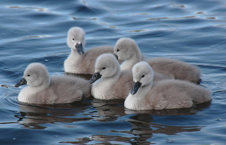 Cygnets Mute Swans Menlo Galway Ireland Pskeltonphoto Peter Skelton Canon Prints Cards Photograph - Cygnets At Menlo Pier by Peter Skelton
