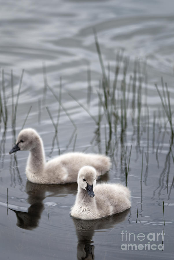 Animal Photograph - Cygnets by David Lade