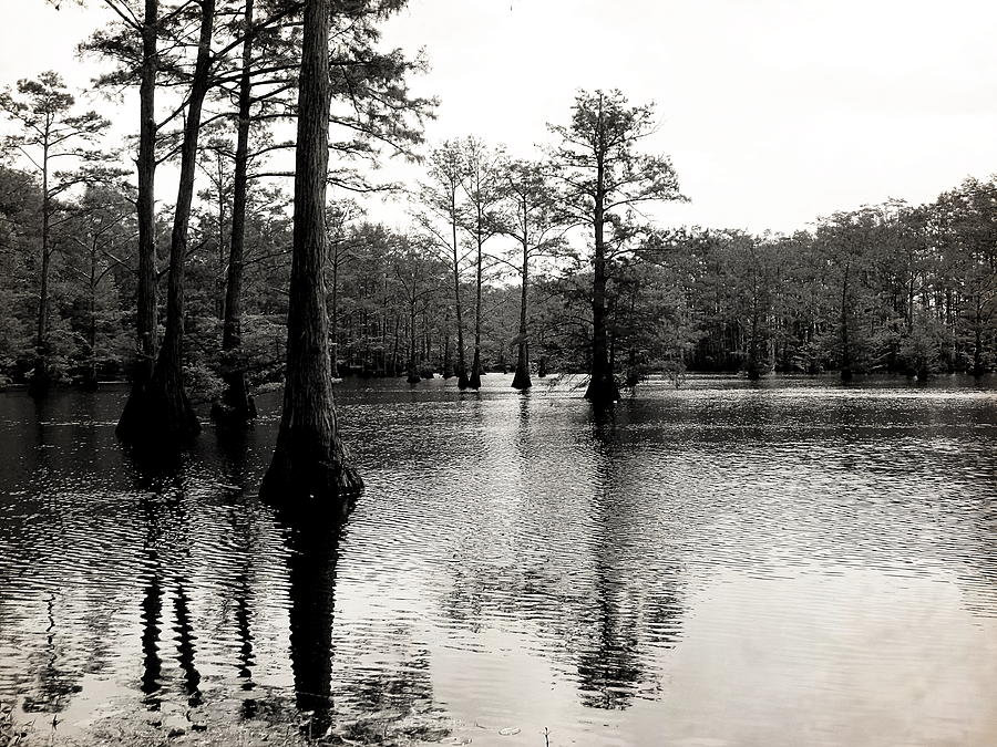 Cypress Photograph - Cypress Trees In Louisiana by Ester  Rogers