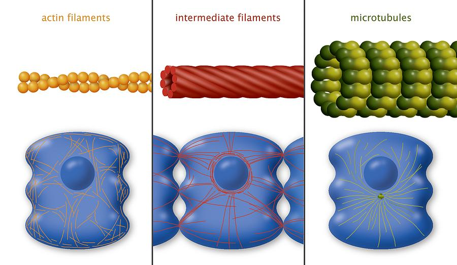 Protein Photograph - Cytoskeleton Components, Diagram by Art For Science