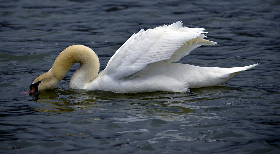 Swans Photograph - Dabble by Brian Stevens