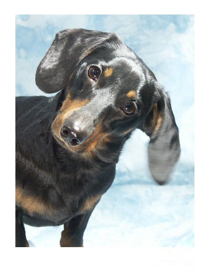 Dachshund Digital Art - Dachshund 441 by Larry Matthews