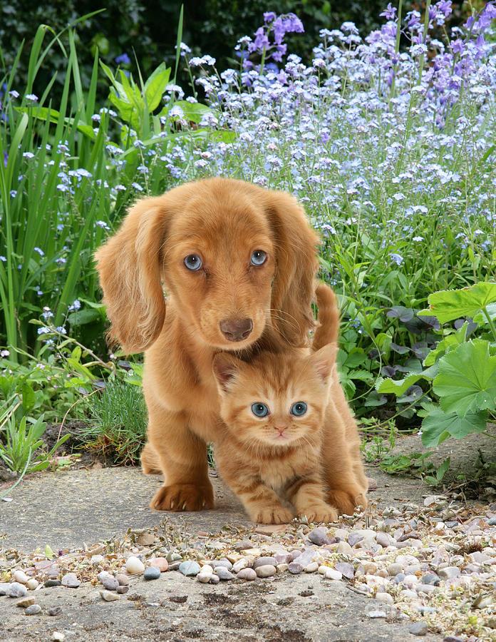 Animal Photograph - Dachshund And Tabby by Jane Burton