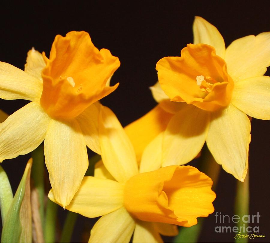 Flowers Photograph - Dafodil by Lorraine Louwerse
