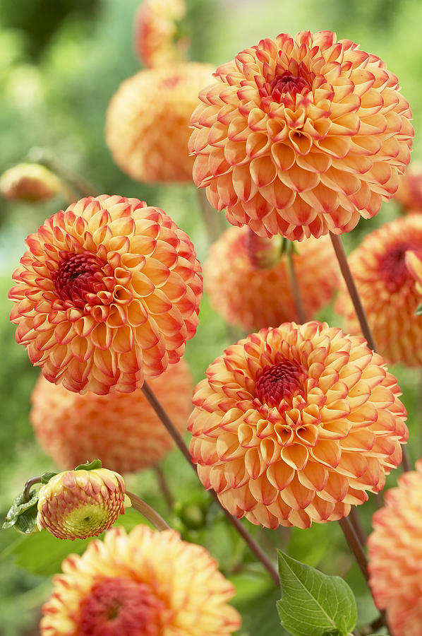 Dahlia Dahlia Sp Mirella Variety Flowers Photograph By Visionspictures